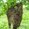 apiculture