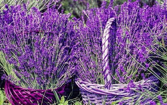 lavender-1478111_1280_opt